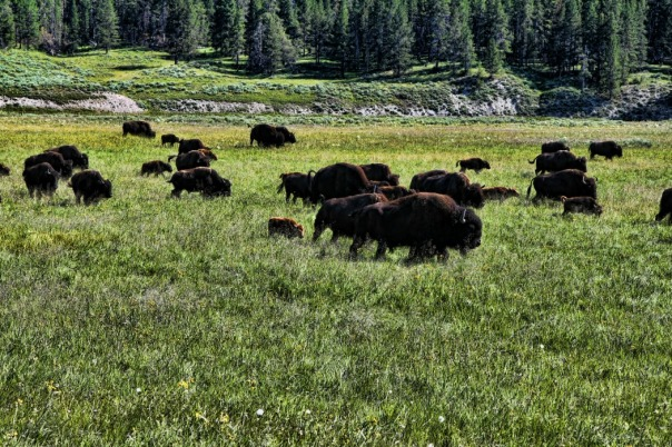 scary bison herd (stronglikemycoffee.com)