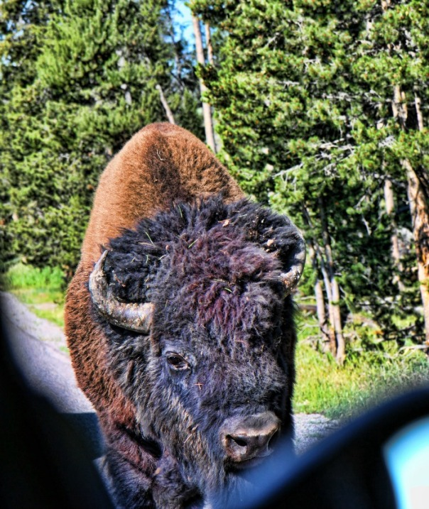 scary bison yellowstone (stronglikemycoffee.com)
