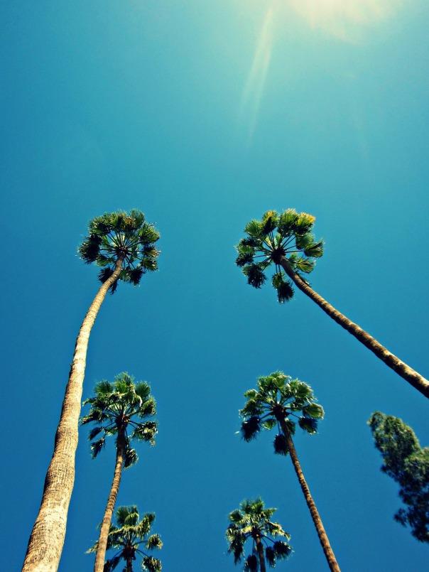 Phoenix palms